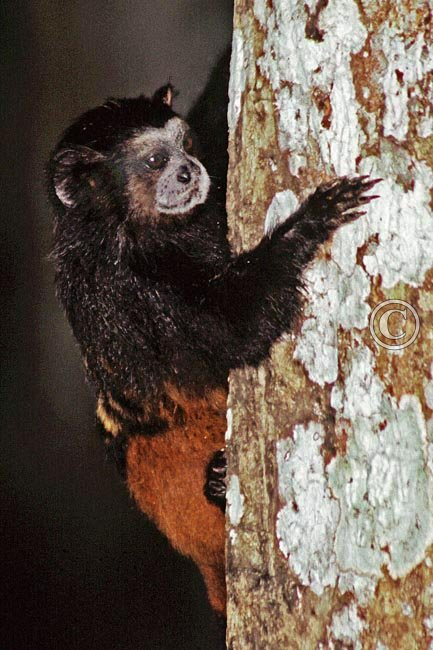 Saddleback tamarin, one of the many monkey species to be seen