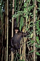 Black spider monkey, one of the many monkey species to be seen here