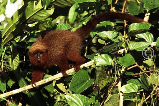 Dusky titi monkey near lodge, another of the monkey species to be seen here