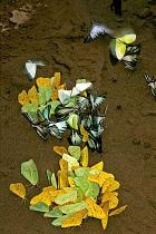 Peirid butterflies feeding on clay minerals on the riverbank