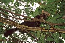 Tayra (a member of the weasel family) in a tree